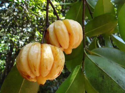 藤黄果的功效和副作用