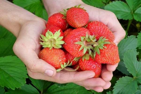 草莓的10个神奇功效