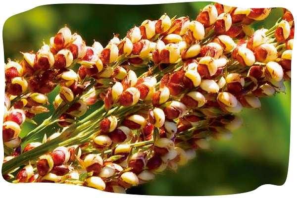 藜麦的好处和副作用